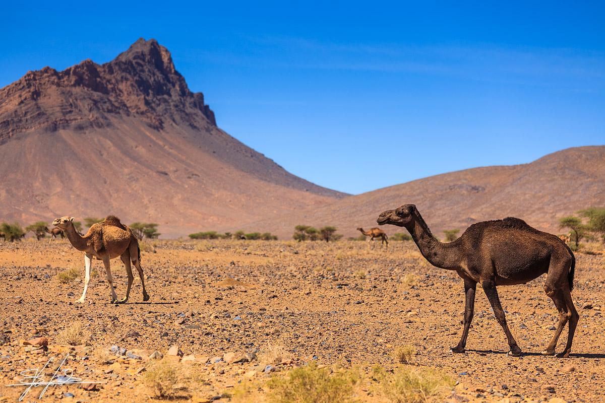 Morocco_desert_dromedary