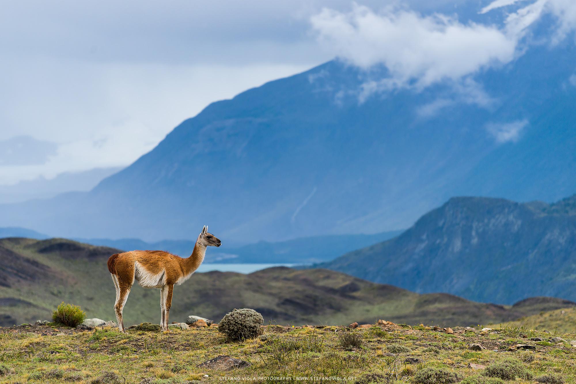 Guanaco at Torres del Paine