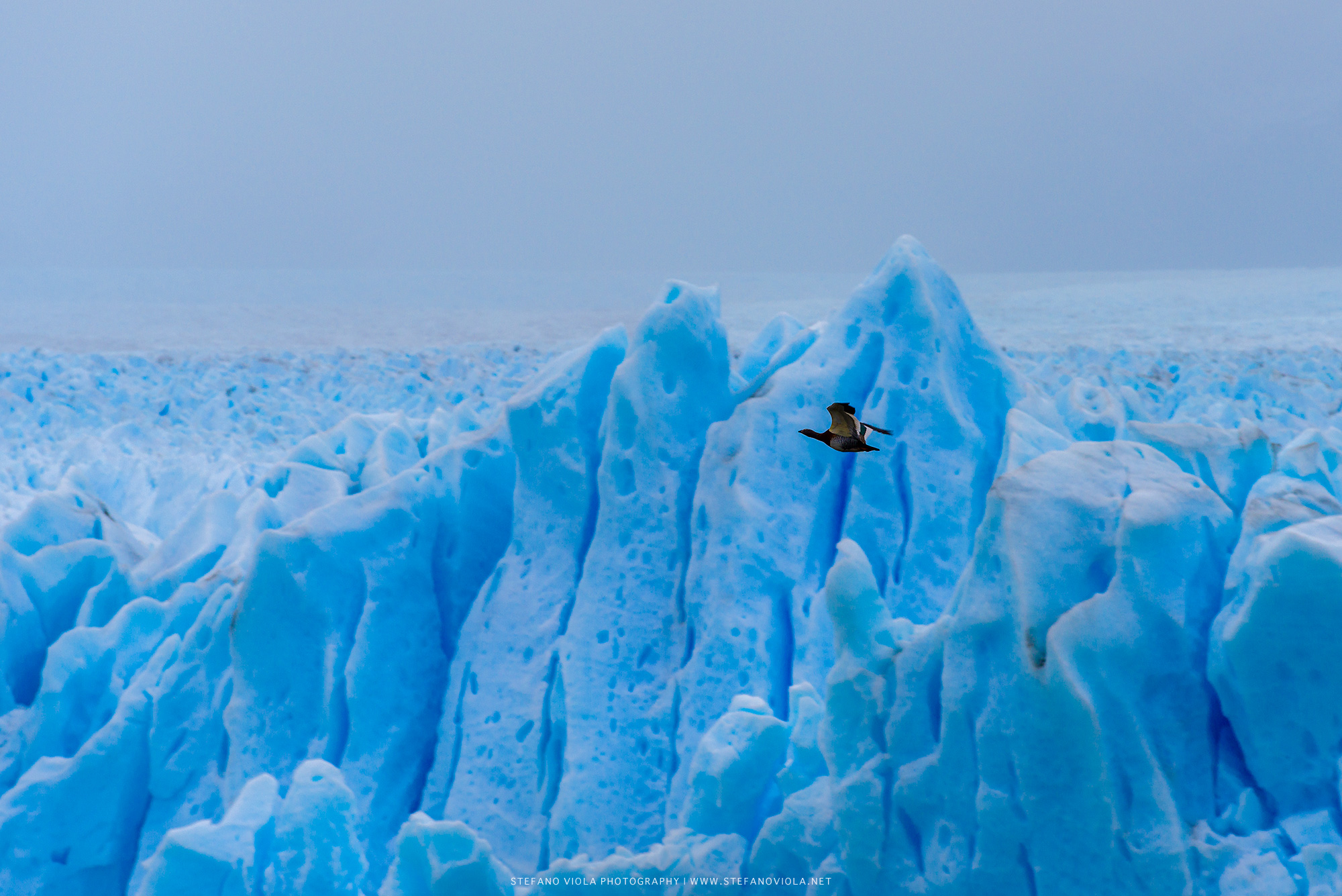 A bird flying over Perito Moreno glacier