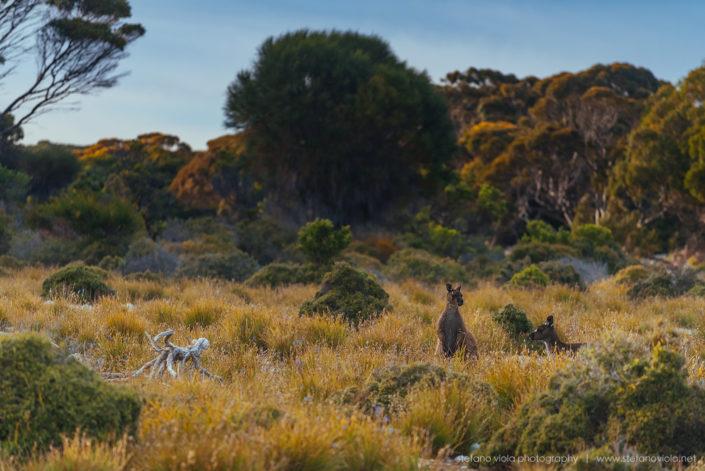 Beautiful wild & free kangaroos spotted around Kangaroo Island