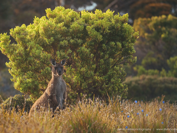 Beautiful wild & free kangaroos spotted around Kangaroo Island