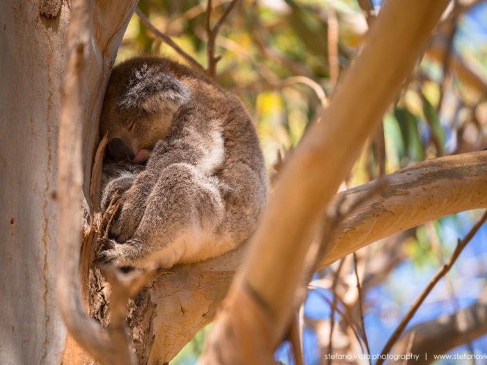 A Koala spotted in Kangaroo Island