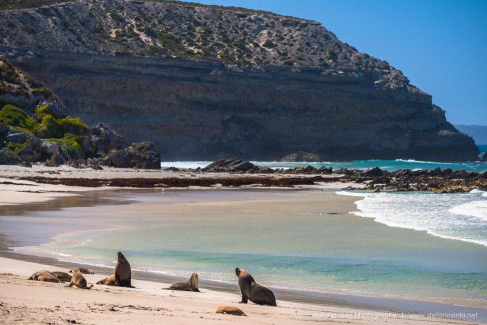 The Sea Lions of Sea Bay in Tasmania