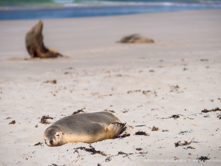 The Sea Lions of Sea Bay in Tasmania