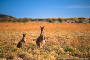 The beautiful wild & free kangaroos of Kangaroo Island
